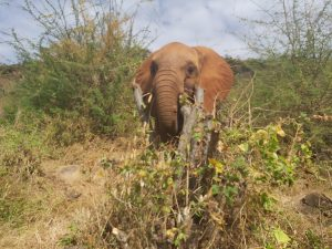 Gogoma (c) Sheldrick Wildlife Trust