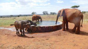 Ivia und Cheza (Büffel-Waisen) saufen mit Ngilai, Emoli und Ndotto (c) Sheldrick Wildlife Trust