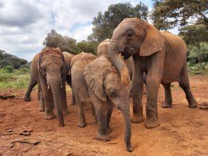 V.l.n.r.: Kiombo, Naleku und Maktao (c) Sheldrick Wildlife Trust