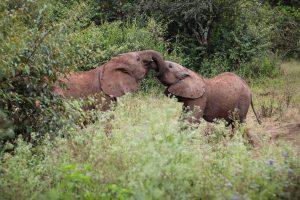 Kiombo und Roho (c) Sheldrick Wildlife Trust