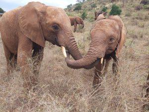 Lasayen (links) und Tamiyoi (c) Sheldrick Wildlife Trust