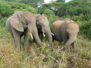 V.l.n.r.: Lima Lima, Alamaya und Enkesha (c) Sheldrick Wildlife Trust