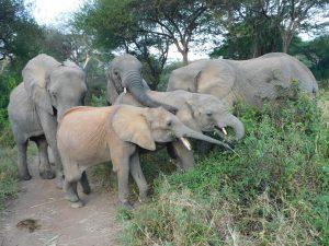 Luggard (vorn) wird von Murera und Sonje beschützt (c) Sheldrick Wildlife Trust