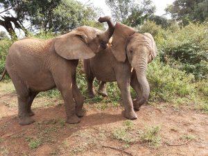 Maktao und Kiombo (c) Sheldrick Wildlife Trust
