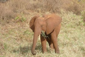 Mashariki (c) Sheldrick Wildlife Trust
