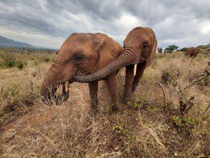 Mudanda (rechts) und Murit (c) Sheldrick Wildlife Trust