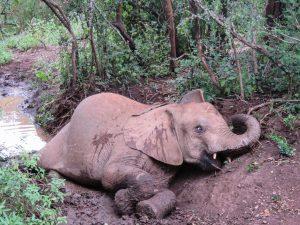 Mukokka (c) Sheldrick Wildlife Trust