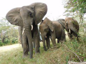 V.l.n.r.: Murera mit Enkesha und Luggard (c) Sheldrick Wildlife Trust