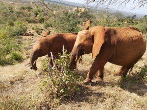 Murit (links) und Mbegu (c) Sheldrick Wildlife Trust