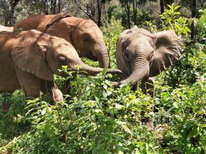 V.l.n.r.: Naleku, Mukkoka und Olorien (c) Sheldrick Wildlife Trust