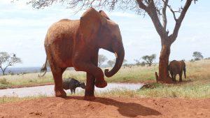 Ndotto (vorn), Ivia (Büffel-Waise) und Pika Pika (beim Schubbern) (c) Sheldrick Wildlife Trust