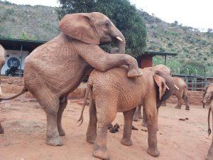 Ndotto sitzt auf Godoma auf (c) Sheldrick Wildlife Trust