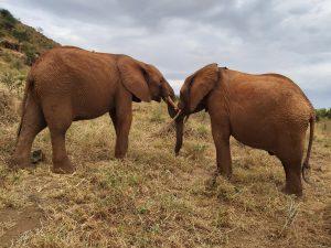 Nelion (links) und Tundani beim Ringen (c) Sheldrick Wildlife Trust