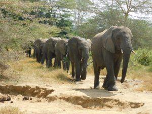 Ngasha bringt alle zur Milchfütterung (c) Sheldrick Wildlife Trust