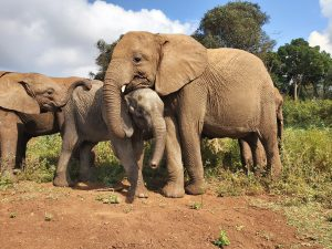 Roho, Olorien und Maisha (c) Sheldrick Wildlife Trust