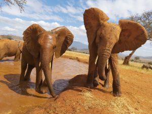 Rorogoi (links) und Mashariki (c) Sheldrick Wildlife Trust