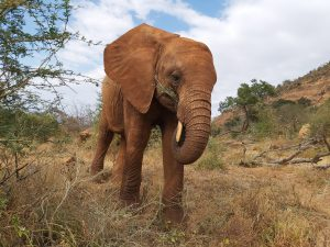 Sagala (c) Sheldrick Wildlife Trust