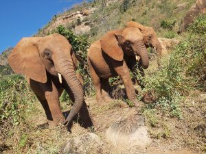 V.l.n.r.: Sagala, Murit und Godoma (c) Sheldrick Wildlife Trust