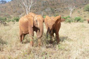 Tagwa (links) und Sagala (c) Sheldrick Wildlife Trust