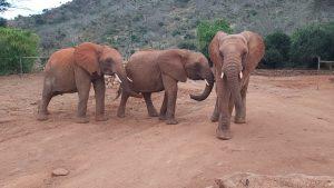 V.l.n.r.: Tundani, Arruba und Ndotto (c) Sheldrick Wildlife Trust