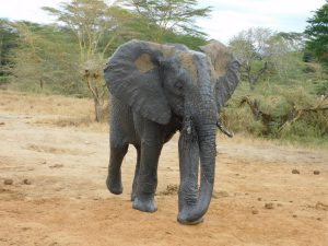 Ziwa (c) Sheldrick Wildlife Trust