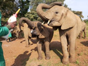Ziwadi und Maisha (c) Sheldrick Wildlife Trust