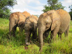 V.l.n.r.: Ziwadi, Olorien, Larro (c) Sheldrick Wildlife Trust