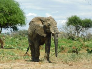 Challa (c) Sheldrick Wildlife Trust