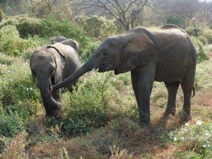 Dololo und Mteto (c) Sheldrick Wildlife Trust
