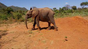 Jotto (c) Sheldrick Wildlife Trust