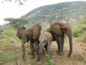 Kamok, Ambo und Orwa (c) Sheldrick Wildlife Trust