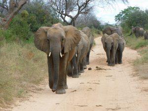 Kamok führt an (c) Sheldrick Wildlife Trust