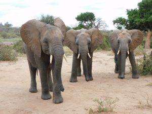 V.l.n.r.: Karisa, Sapalan und Enkikwe (c) Sheldrick Wildlife Trust