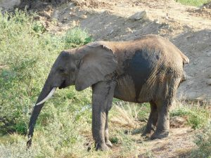 Kilaguni (c) Sheldrick Wildlife Trust