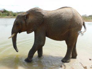 Kithaka (c) Sheldrick Wildlife Trust