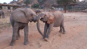 Lemoyian und Mapia (c) Sheldrick Wildlife Trust
