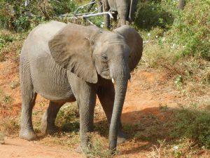 Malima (c) Sheldrick Wildlife Trust