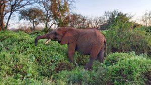 Olsekki (c) Sheldrick Wildlife Trust