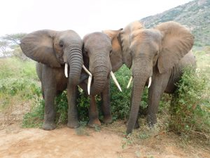 V.l.n.r.: Orwa, Kilaguni und Mutara (c) Sheldrick Wildlife Trust
