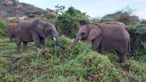 Pare und Dololo (c) Sheldrick Wildlife Trust