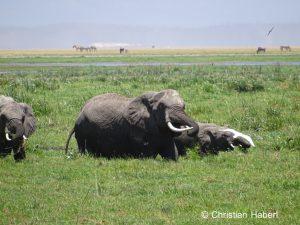 Elefanten auf Nahrungssuche im Sumpf.