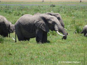 Eine Elefantenkuh in einem Sumpf in Amboseli.