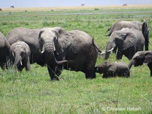 Elefantenkuh und Kalb