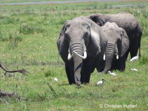 Eine Elefantenkuh mit markanten Stoßzähnen.
