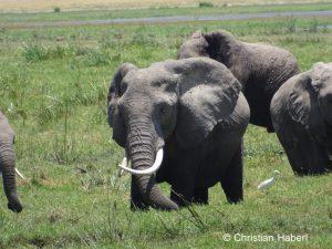 Elefantenkuh auf Nahrungssuche in den Sümpfen.