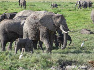 Eine Elefantenkuh und ihr Kalb in den Sümpfen.