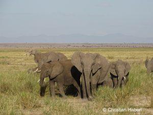 Auch unter den Amboseli-Elefanten gibt es stoßzahnlose Individuen.