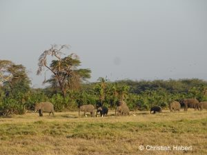 Elefanten am Rande des Ol Tukai Waldes.