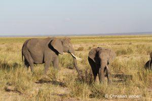 Elefanten im bereits trockenen Grasland.