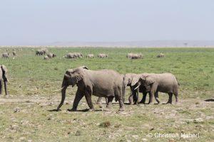 Die Sümpfe in Amboseli sind für die Elefanten eine wichtige Nahrungsressource.